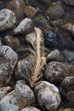 Skelett des gelaichten pazifischen Rotlachses in Adams-Fluss Stockbild