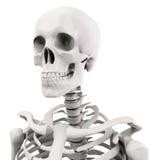 Skelett des Menschen 3D lizenzfreie abbildung