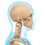 Teil des menschlichen Kopfes - Kreuzwortrtsel Hilfe
