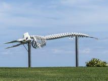 Skelett eines Pottwals Stockfotos