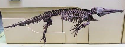 Skelett eines prähistorischen Reptils des Relikts Versteinert bleibt stockfotografie