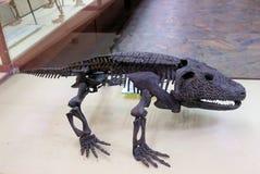 Skelett eines prähistorischen Reptils des Relikts Versteinert bleibt stockbilder