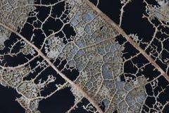 Skelett eines verfallenden Blattes Stockbild