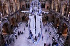 Skelett för blått val, naturhistoriamuseum, London royaltyfria bilder