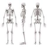 skelett för human 3d stock illustrationer