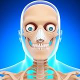 Skelett för mänskligt huvud i blue Arkivbilder