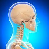 Skelett för mänskligt huvud i blue Royaltyfria Bilder