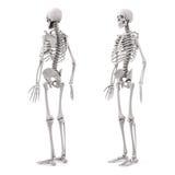 skelett för human 3d Arkivbild