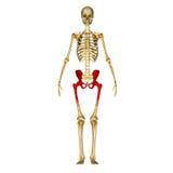 Skelett- höft royaltyfri illustrationer