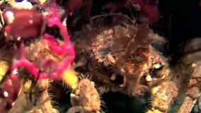 Skelett- havsget Caprellalinearis som är undervattens- på havsbotten av det vita havet stock video