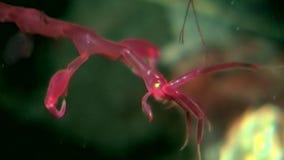 Skelett- havsget Caprellalinearis som är undervattens- på havsbotten av det vita havet arkivfilmer
