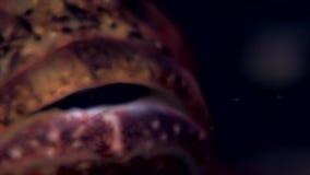 Skelett- havsget Caprellalinearis som är undervattens- på havsbotten av det vita havet lager videofilmer