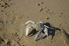Skelett- krabba Arkivbild
