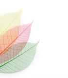 skelett- kulöra leafs Arkivfoton