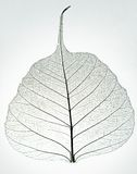 Skelett- leaf Royaltyfri Foto