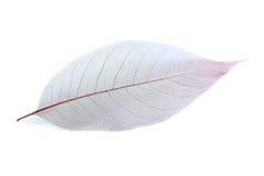 Skelett- leaf Arkivfoton
