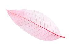 Skelett- leaf Arkivbild