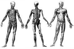 skelett- mänskliga muskler Arkivfoton