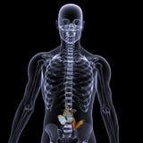 skelett- mage din x för fjärilsstråle Royaltyfri Fotografi