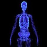 Skelett med digestivkexsystemet Royaltyfria Bilder