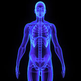 Skelett med kroppen Arkivbild