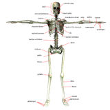 Skelett mit Knochennamen Lizenzfreie Stockfotografie