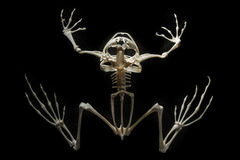 Skelett på en groda Royaltyfri Fotografi