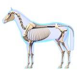 Skelett- sidosikt för häst - hästEquusanatomi - som isoleras på whi stock illustrationer