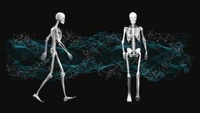 Skelett som går på fläcken vektor illustrationer
