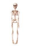 Skelett som isoleras på vit Fotografering för Bildbyråer