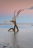 Skelett South Carolina för galenskapstrandträd Royaltyfri Foto