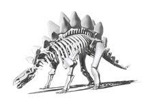 Skelett- teckning för Stegosaurus Arkivbilder