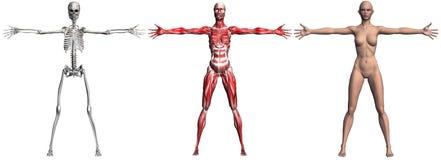 Skelett und Muskeln einer menschlichen Frau stock abbildung