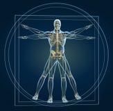 Skelett in vitruvian Stockfoto