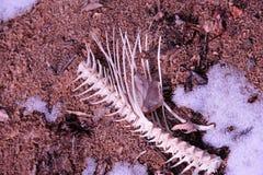 skelett wisconsin för havskattflodkust Arkivfoton