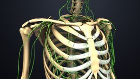 Skelettartige Knochen Rippen mit Lymphknoten stockbild