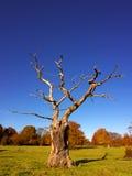 Skelettartiger Baum im Herbst Stockbilder