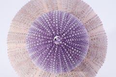 Skelette von Meer schälen das violette echinoiderm, das auf weißem Hintergrund lokalisiert wird Stockfotos