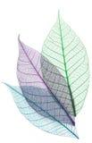 Skeletten van bladeren Stock Afbeelding