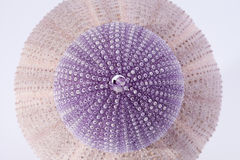 Skeletten van overzees die shell viooltje echinoiderm op witte achtergrond wordt geïsoleerd Stock Foto's