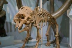 Skelettet av ett kolossalt Royaltyfri Bild