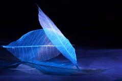 Skelettierte Blätter mit einer blauen und weißen Steigung auf einem dunklen Hintergrund, Bullaugen stockfoto