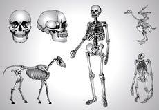 skelettskalle Arkivbilder