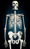 Skelton Fotos de archivo