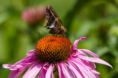 Skepparen pollinerar den purpurfärgade kotteblomman Arkivbilder