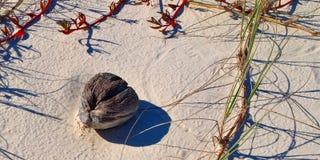 Skeppsbrutenkokosnöt på en ursprunglig vit sandig tropisk östrand Arkivfoton