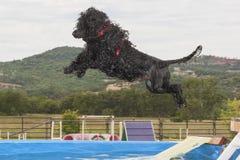 Skeppsdocka som dyker den portugisiska vattenhunden royaltyfria bilder