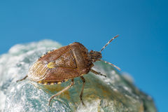 Skeppsdockafelet (den Coreus marginatusen) Royaltyfri Fotografi