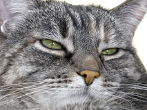 Skeptical. Green eyed tiger stripe cat displaying that doubtful look stock image