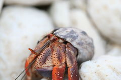 Skeptical Hermit Crab Royalty Free Stock Photos